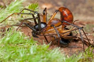 Zodiariidae Ant Mimicking Spider by melvynyeo