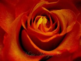 Fire Rose by MisticMorgue