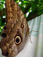 255 - Owl butterfly by kez245