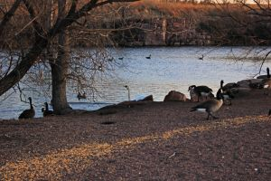 A Honking Afternoon by silverlakephotos