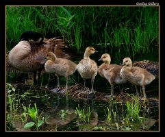 Gosling Gallery by boron