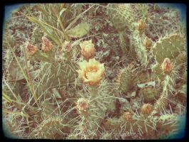 Cactus Blossom by ravenaudron
