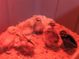BABY CHICKS: REDLIGHT 1 by SquirtBox
