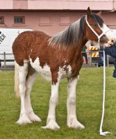 Clydesdale foal 5 by Kennelwood-Stock