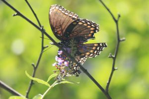 red spotted purple by Laur720