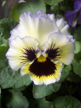 Pansy 2 by ChaotiqueManiac