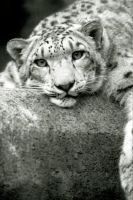 Snow Leopard 9 by Art-Photo