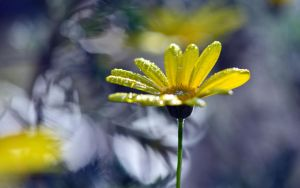 Yellow Daisy by vabserk