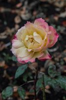 12-11 rose in autumn by evionn