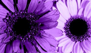 Violets are violet by hchic4life
