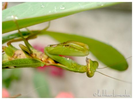 Green Mantis by katiepinkie