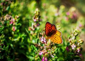 Wild butterfly by buzeto