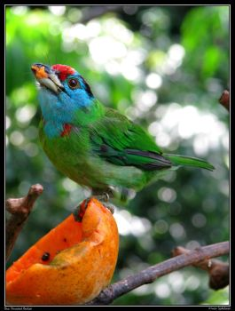 Blue Throated Barbet by Ghost-Dreamer