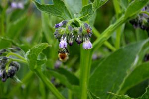 Comfrey, Refreshes the Bees.... by Clangston