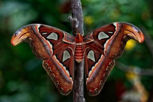 Attacus atlas by Witoldhippie