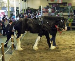 Shire Horse - 034 by EasternBrumbyStock