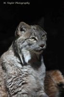 Lynx by MTaylorPhotography