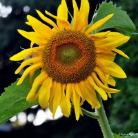 Tournesol au Jardin I by hyneige