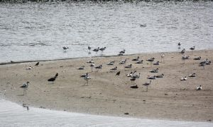 Avocets by YunaHeileen