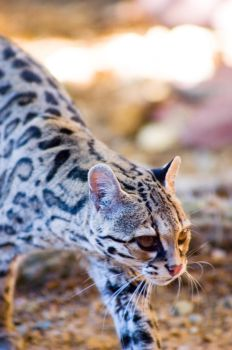 Margay by muppetdance