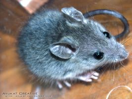 wild house mouse 1 by ayukat