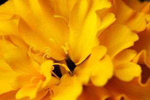 Marigold Macro by thebreat