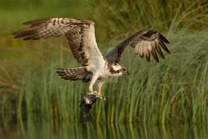 Catch of the day - Osprey and Rainbow trout by Jamie-MacArthur