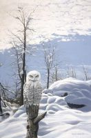 snowy owl by LowellSSmithART