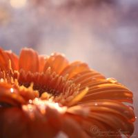 Gerbera by PetalDreams