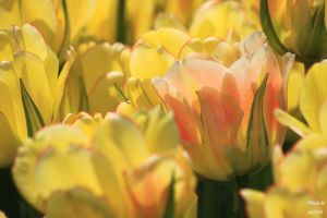 Tulips.2 by MDDahl