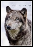 Wolven Silver Eyes by tleach0608