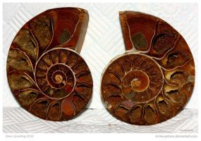 Ammonite 10 of 365 by In-the-picture