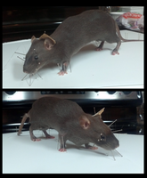 Taxidermy Rat Numero Uno by xDoglate