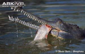 Gharials are so creepy omo by Moracalle