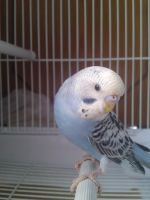 Baby Budgie by FunkySockzLover