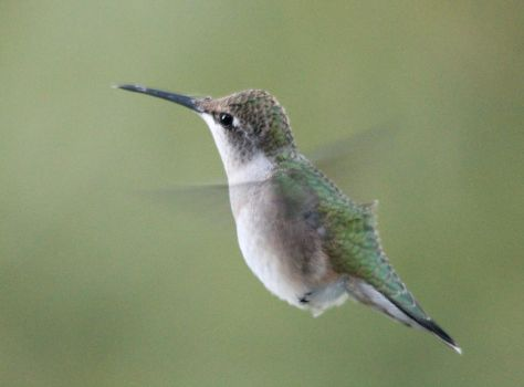 Female Hummingbird II 9-14-15 by Part-Time-Cowboy
