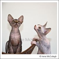 Two Sphynxes Flycatching by substar