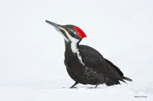 Pileated Woodpecker by Les-Piccolo