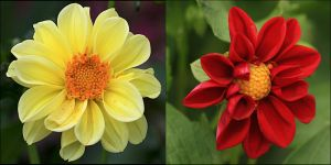 My 1st Two Dahlia. by Firey-Sunset