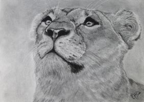 Lioness charcoal drawing by Actlikenaturedoes