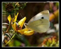 Cabbage White 08 by boron