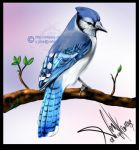 Blue Jay birdy by mejony