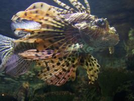 A Lion Fish by borgking001a
