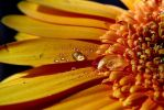 droplet on a daisy by mkm3d