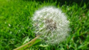 Another Dandelion by AnonymousRabbitLover