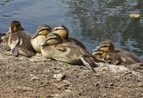 Ducklings 1 by BlonderMoment