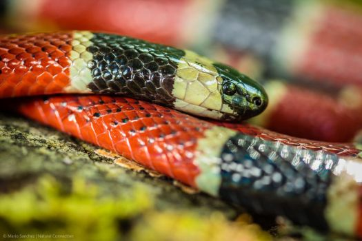 Central American Coral Snake 2 by MCN22