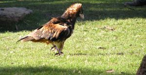 Wedge Tailed Eagle by bluebelle-88