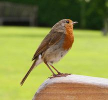 Friendly Robin. by bared