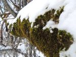 moss and snow by MountainsMarmot
